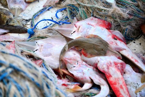 Balıkçıların yeni kabusu: İnsan yüzlü sapan balığı