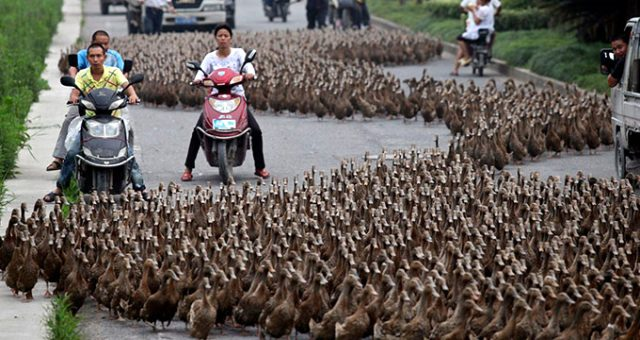 Çin, Pakistan'daki çekirge istilasına yardım için 100 bin ördek yolluyor