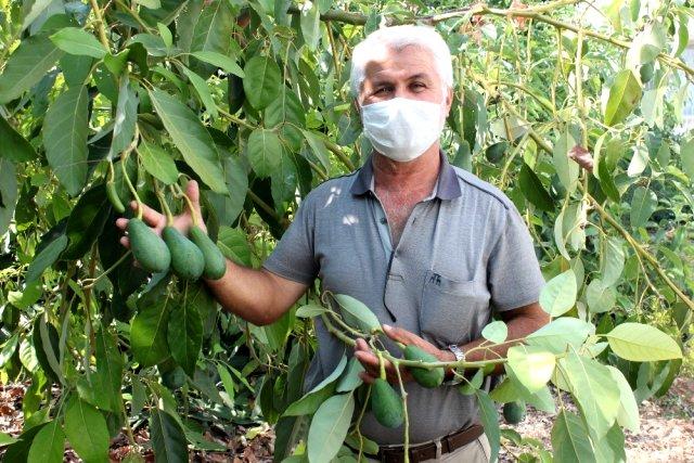 Dalında 15 liraya satılan avokado toplandığı gün ihracat yolculuğuna çıkıyor