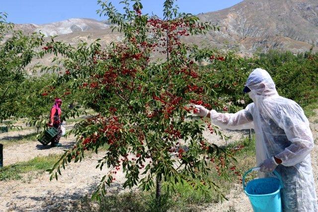 Erzincan'da 95 ülkeye ihracatı yapılan vişnenin hasadı başladı