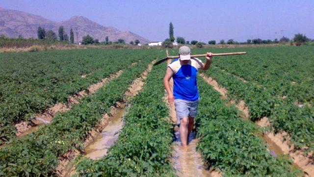 Geçen ay hasadı başlayan domatesin kilosu tarlada 3 liradan 60 kuruşa düştü