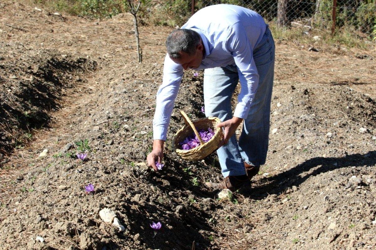 Kilosu 40 bin liradan satılan safranın hasadı başladı: 25 dönüm araziden 600 bin TL kazanacak
