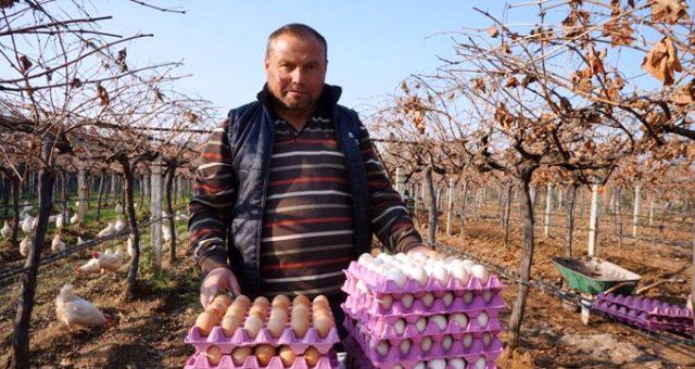 Üzüm üreticisi 'gezen tavuk' hayalini gerçekleştirdi! Şimdi siparişlere yetişemiyor